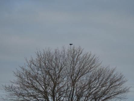 04112019 One Crow for Sorrow Rockport Maine